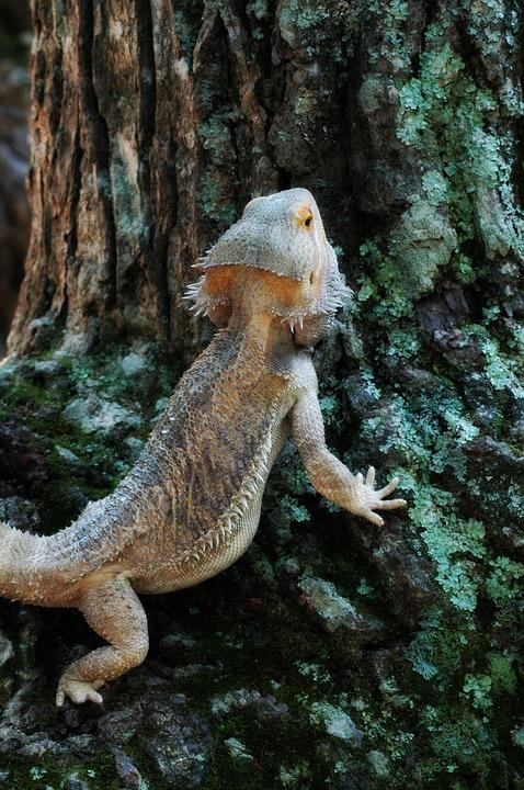 Pets, Lizard, Bearded, Dragon