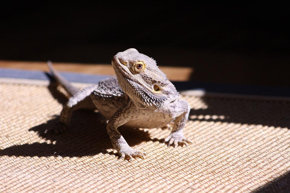 Lizard, Bearded Dragon, Reptile