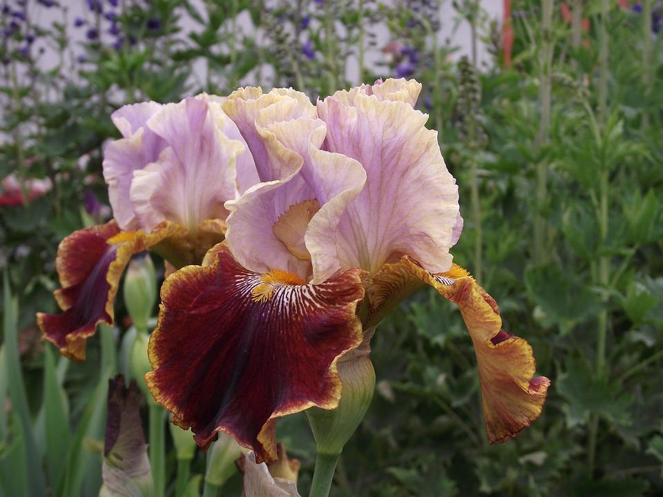 Iris, Flowers, Garden, Bearded Iris