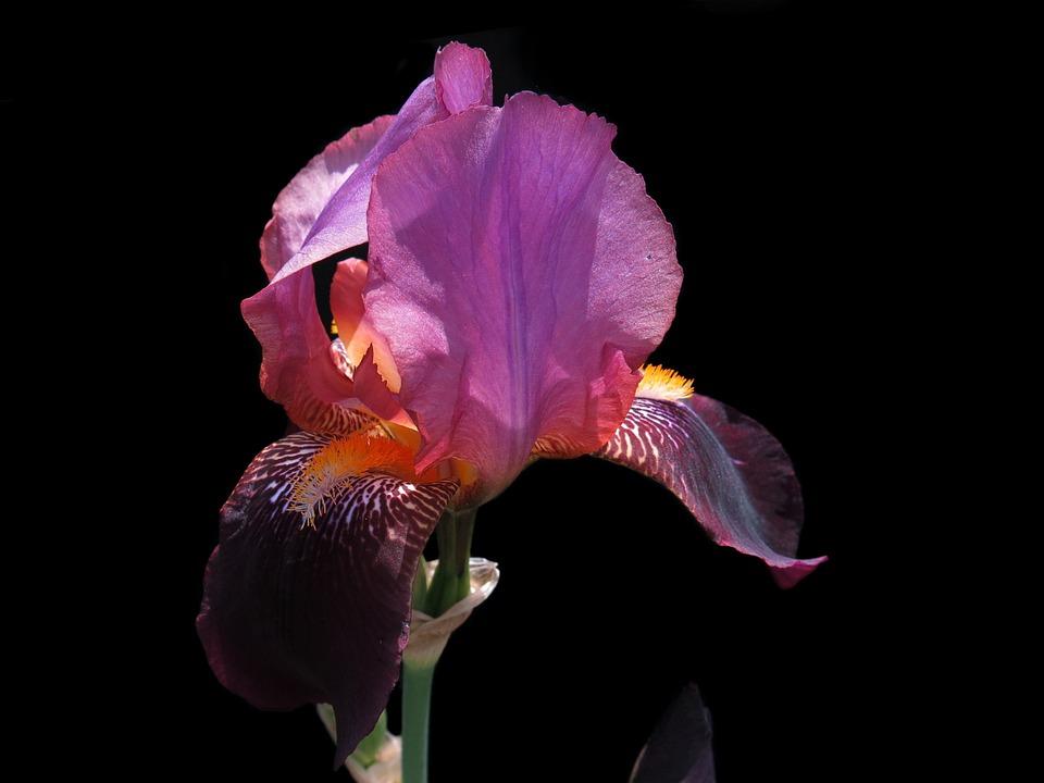 Bearded Iris, Red Flower, Purple, Purple Flower, Iris
