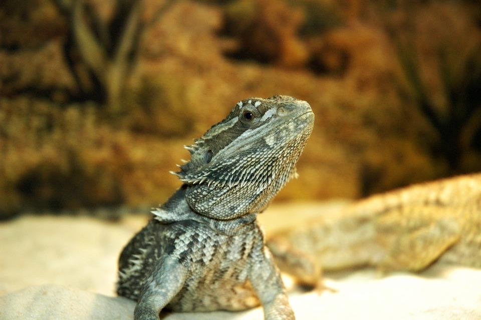 Lizard, Pet, Dragon, Bearded