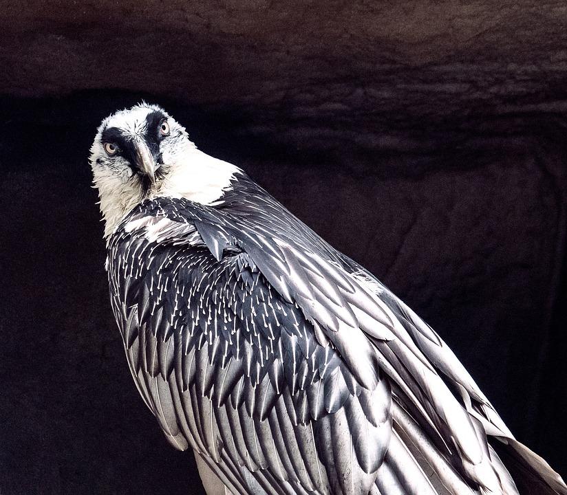 Bearded Vulture, Vulture, Bird, Bird Of Prey, Feather