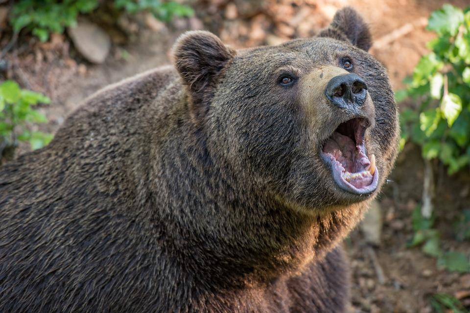 Bear, Brown Bear, Animal, Beast, Teddy Bear, Hairy