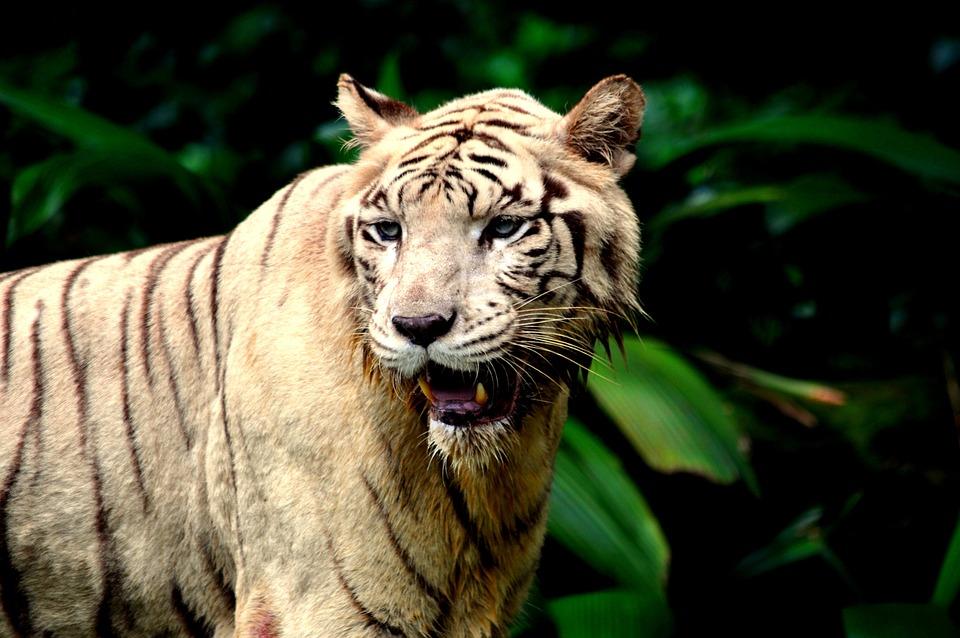 Tiger, Zoo, Wild, Wildlife, Predator, Carnivore, Beast