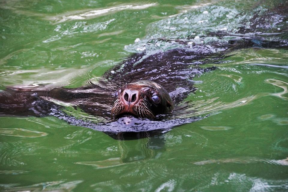Sea lion, Hairy, Sealion, Beast, Water, Animal, Zoo