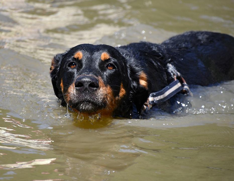 Dog, Swimming, Pond, Beauceron, Swimming Dog, Animal