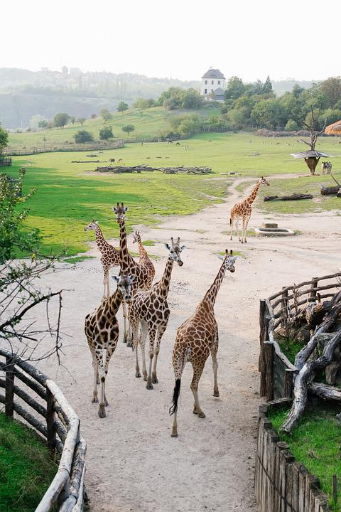 Prague, Zoo, Giraffe, Animals, Nature, Beautiful, Czech