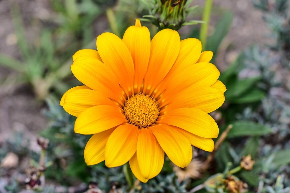 Flower Gérbel, Beautiful Flower, Nature, Beautiful