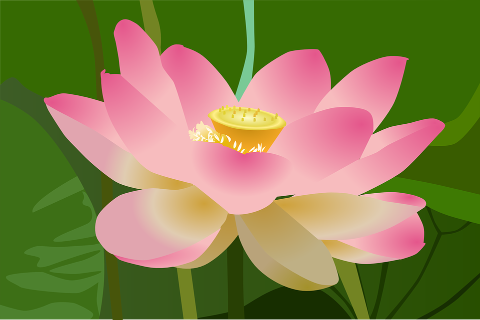 free photo beautiful blossom flower beauty bloom lotus  max pixel, Natural flower