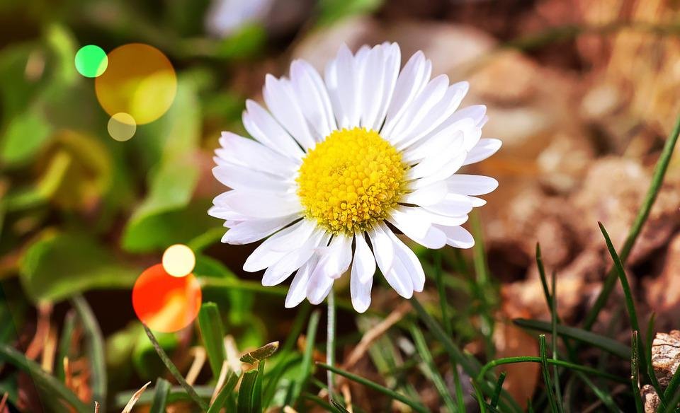 Flower, Daisy, White, Blossom, Bloom, Beautiful, Bokeh