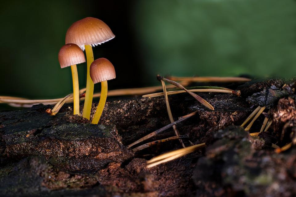 Mushrooms, Beautiful Bonnet, Wood, Fungi, Mycena Renati