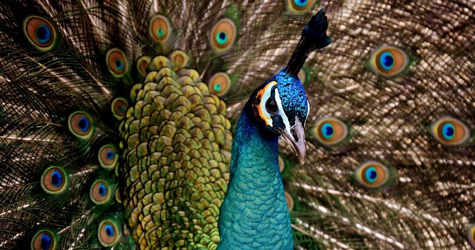 Peacock, Beautiful, Colorful, Bird, Color, Pride