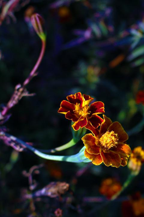 Flower Meadow, Marigold, Colorful, Beautiful, Flowers