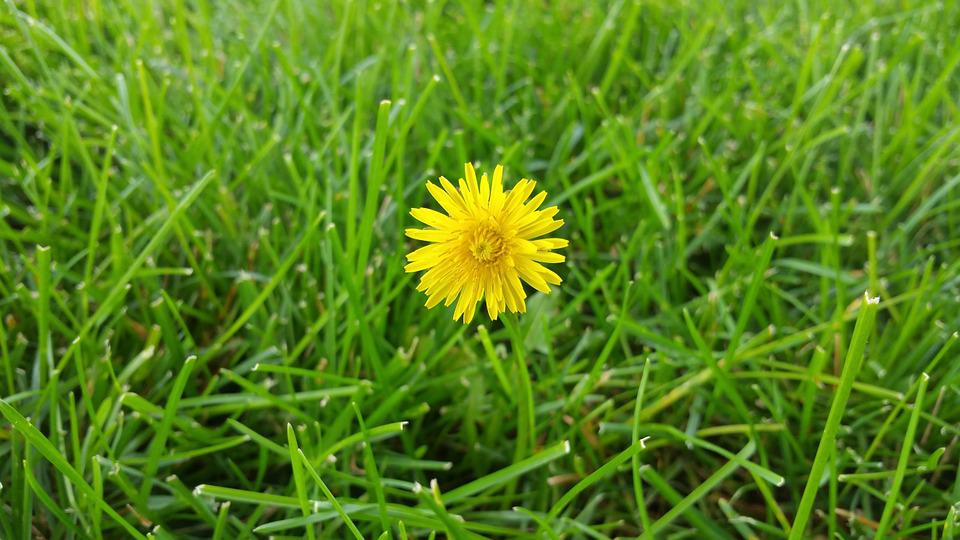 Dandelion, Grass, Background, Beautiful, Beauty