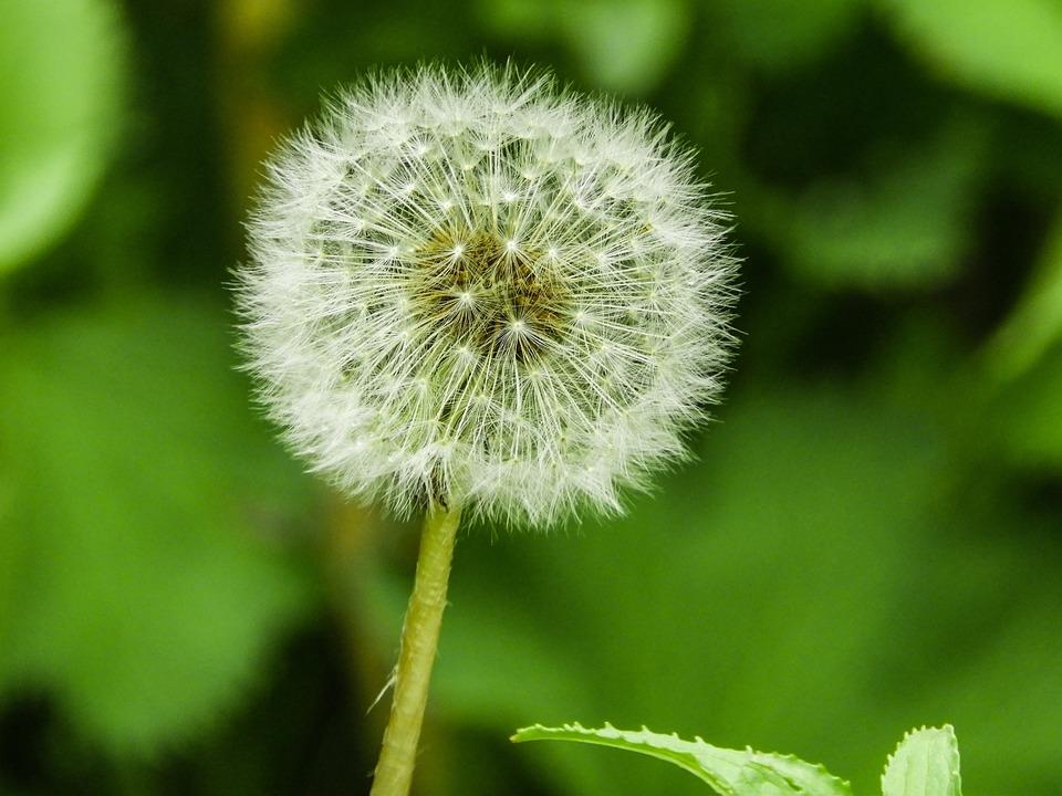 Beautiful, Nature, Spring, Flower, Dandelion