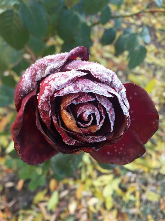 Frosty Rose, Red Rose, Beautiful Flower