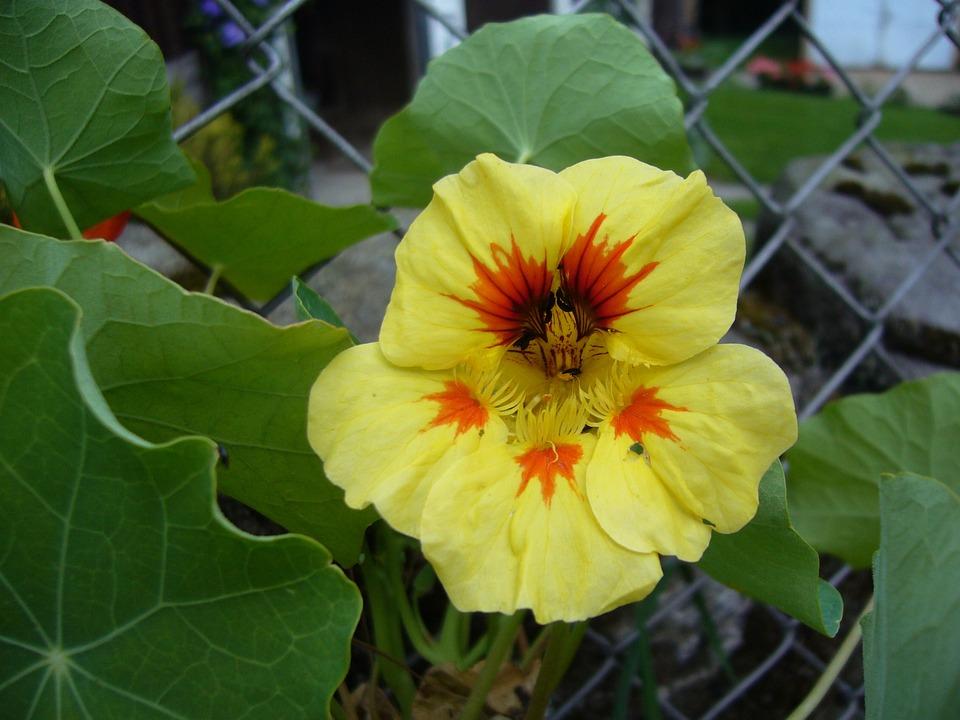 Nasturtium, Flowers, Beautiful Flower