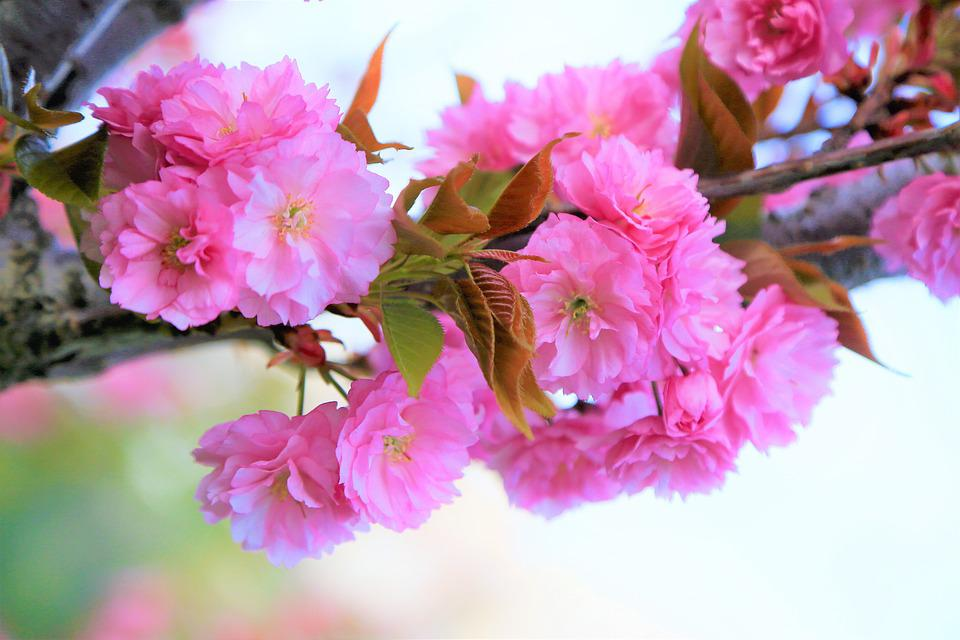 Flower, Spring, Nature, Cherry, Plant, Color, Beautiful