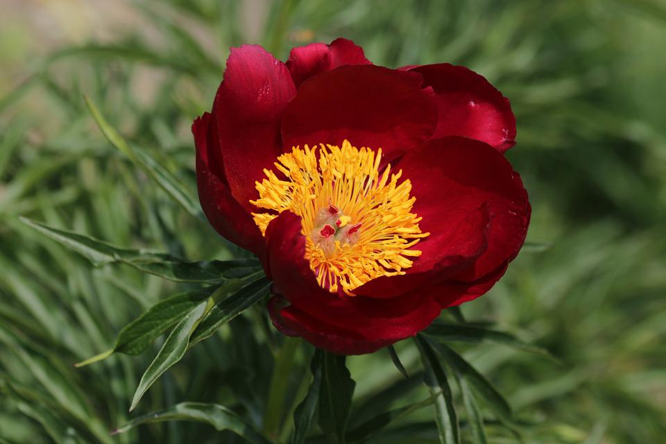 Peony, Burgundy Flower, Closeup, Beautiful, Flower
