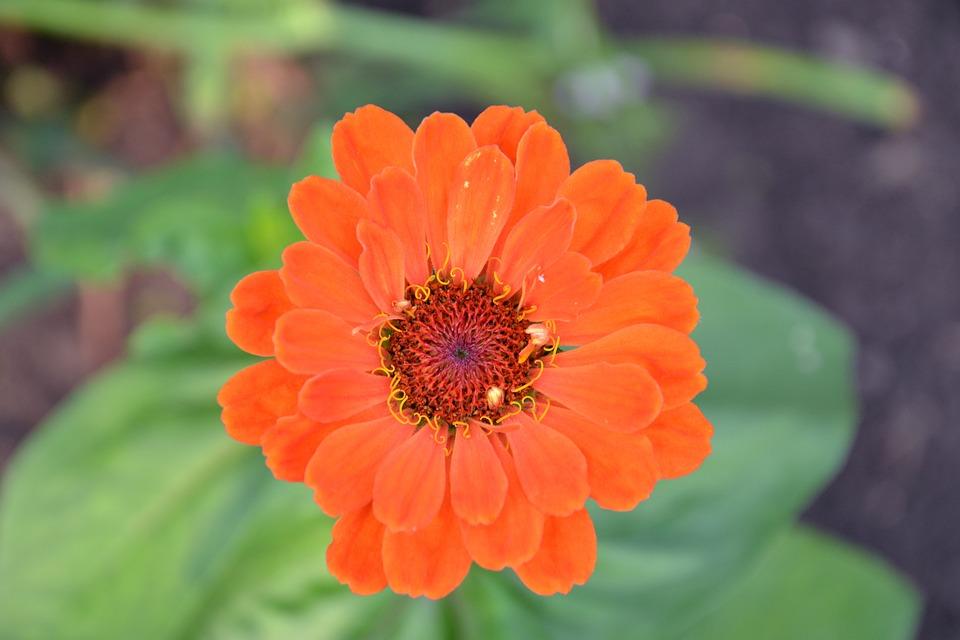 Zinnia, Flower, Red, Plant, Beautiful Flower, Nature