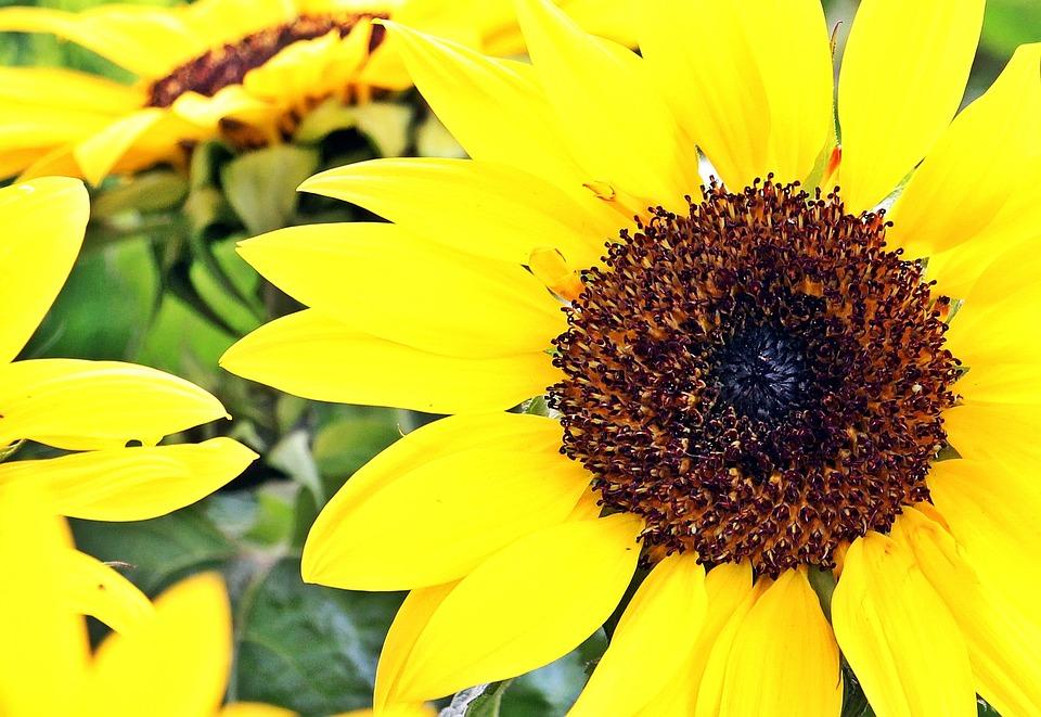Sunflower, Flowers, Summer, Beautiful, Plant, Market