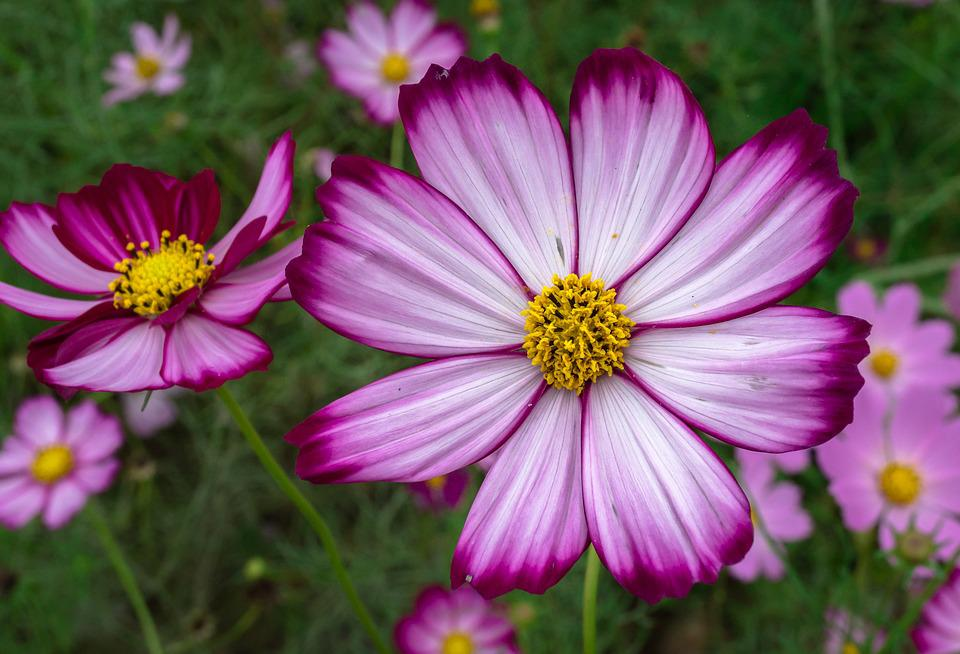Cosmos, Plants, Flowers, Purple, Garden, Beautiful