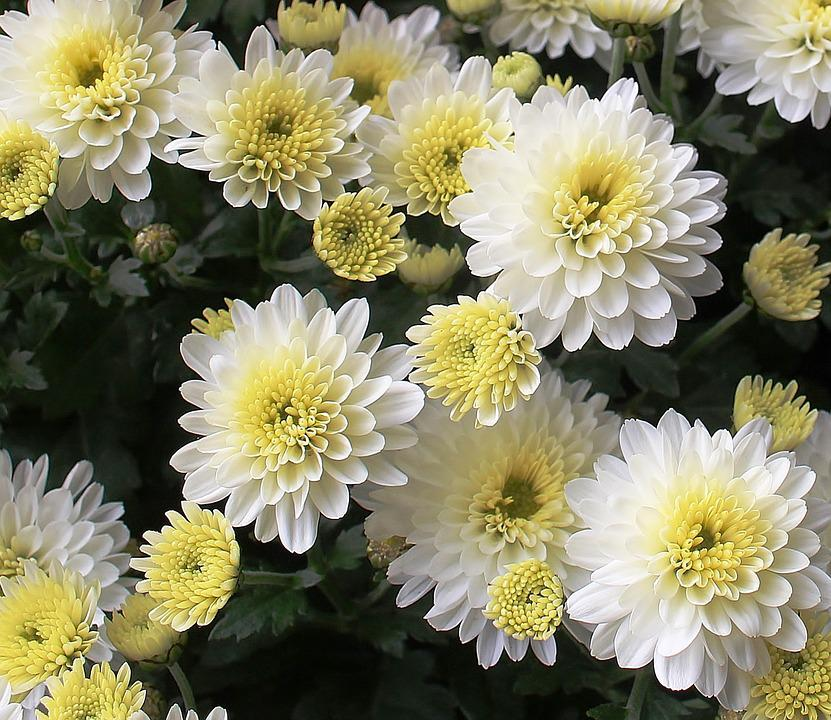 Free photo beautiful flowers white asters bloom max pixel asters flowers bloom white beautiful mightylinksfo