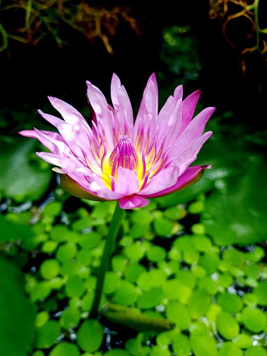 Lotus, Flowers, Water, Red, Garden, Flora, Beautiful