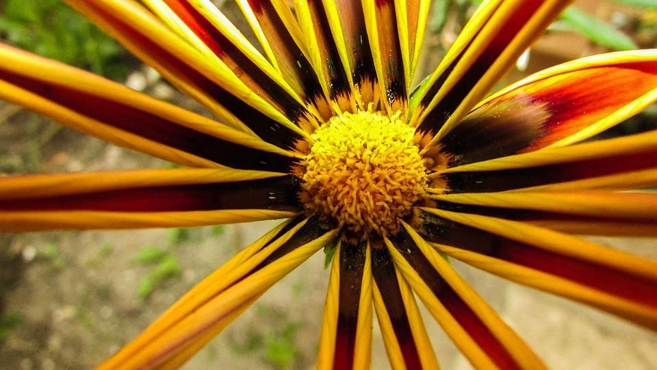 Gazania, Flower, Colorful, Beautiful, Blossom, Nature
