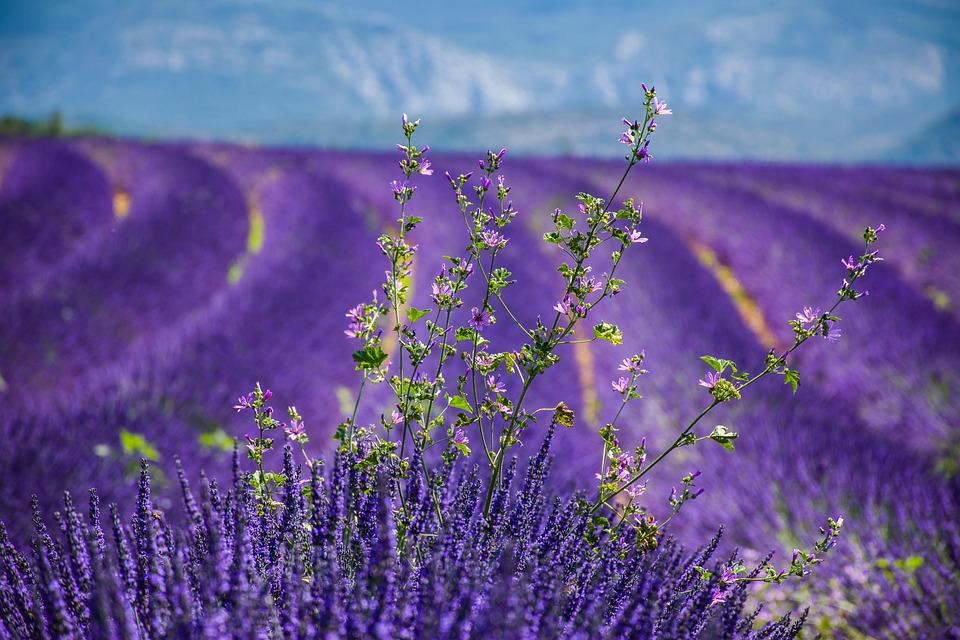 Moustiers-sainte-marie, Lavender, Beautiful Landscape