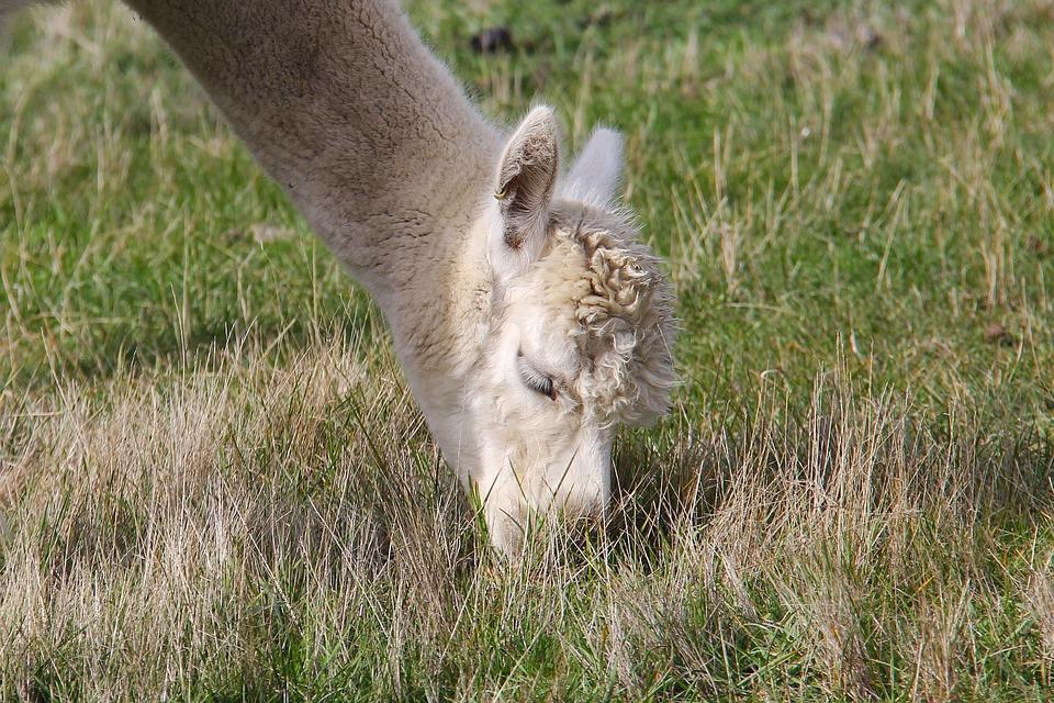 Adorable, Alpaca, Lavender, Farm, Beautiful, Enchanting