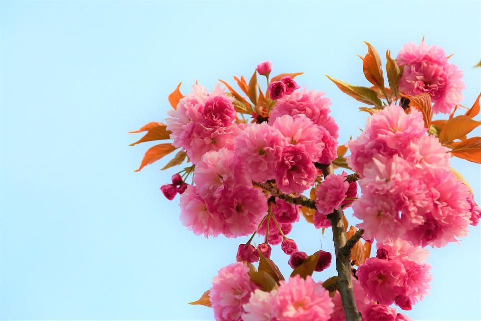 Flower, Nature, Spring, Plant, Pink, Beautiful, Leaves