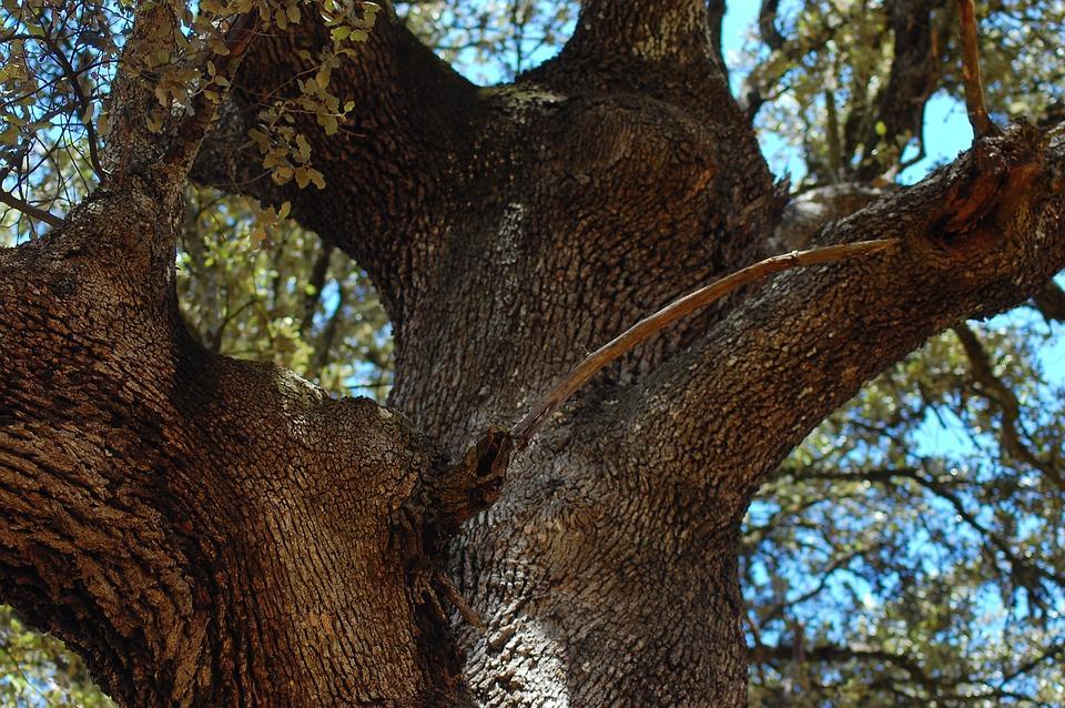 A, Long, Hug, Cork Oak, Beautiful