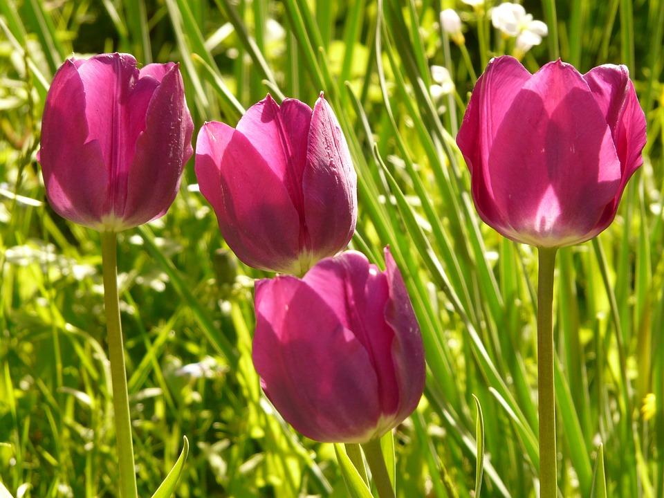 Tulip, Pink, Back Light, Beautiful, Tulpenbluete