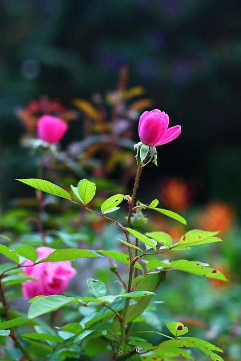 Rosa, Flower, Spring, Button, Beautiful