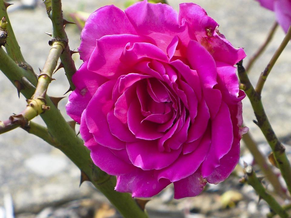 Rose, Pink, Thorn, Flower, Beautiful, Nature, Purple