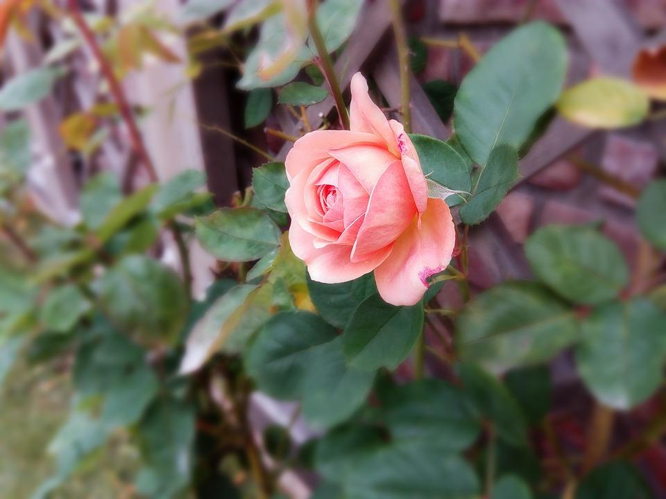 Rose, Flower, Garden Plant, Red, Park, Beautiful