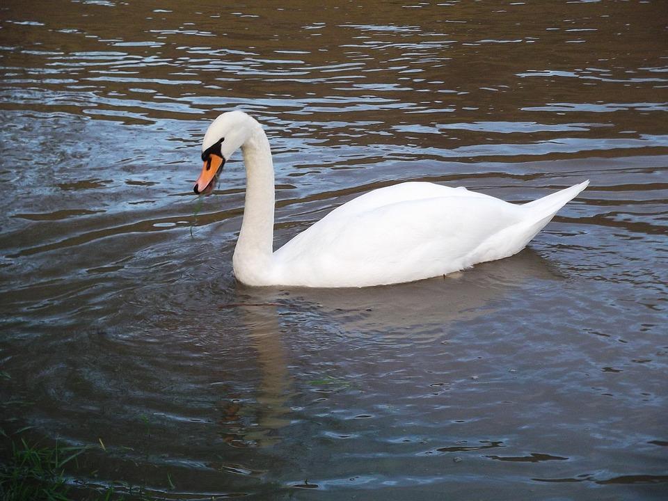 Swan, Water Bird, Swim, Beautiful, Waters, Bird, Beauty