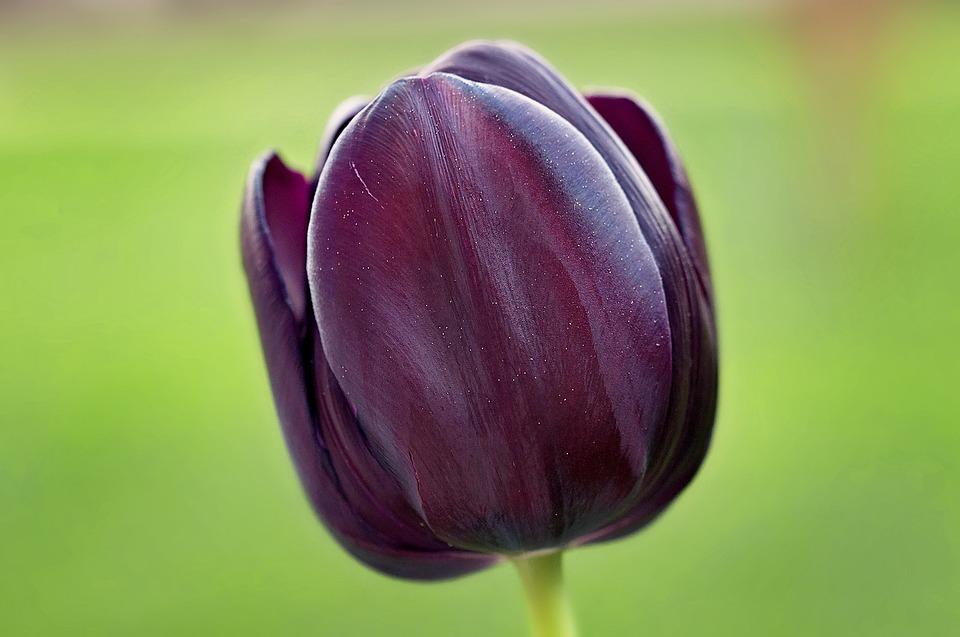 Tulip, Flower, Violet, Dark, Beautiful, Spring Flower