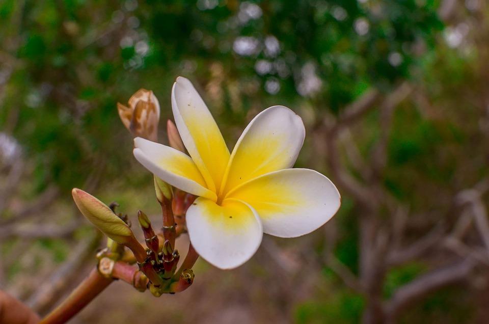 Porcelain Flower, Beautiful, White Porcelain Flower