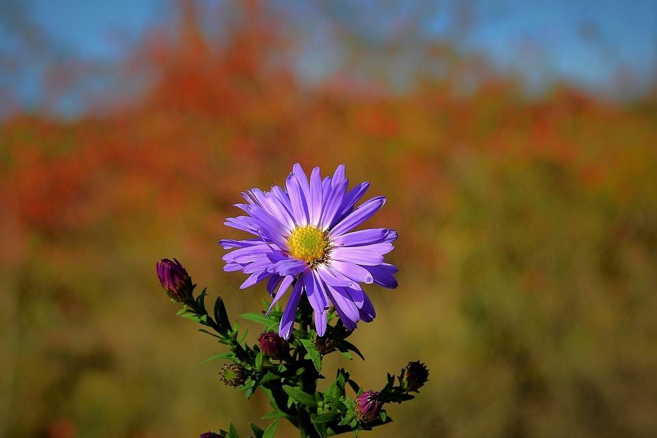 Flower, Nature, Beauty, Autumn