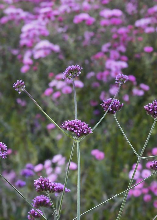 Wild Flower, Verbena, Beauty, Purple, Blossom, Bloom