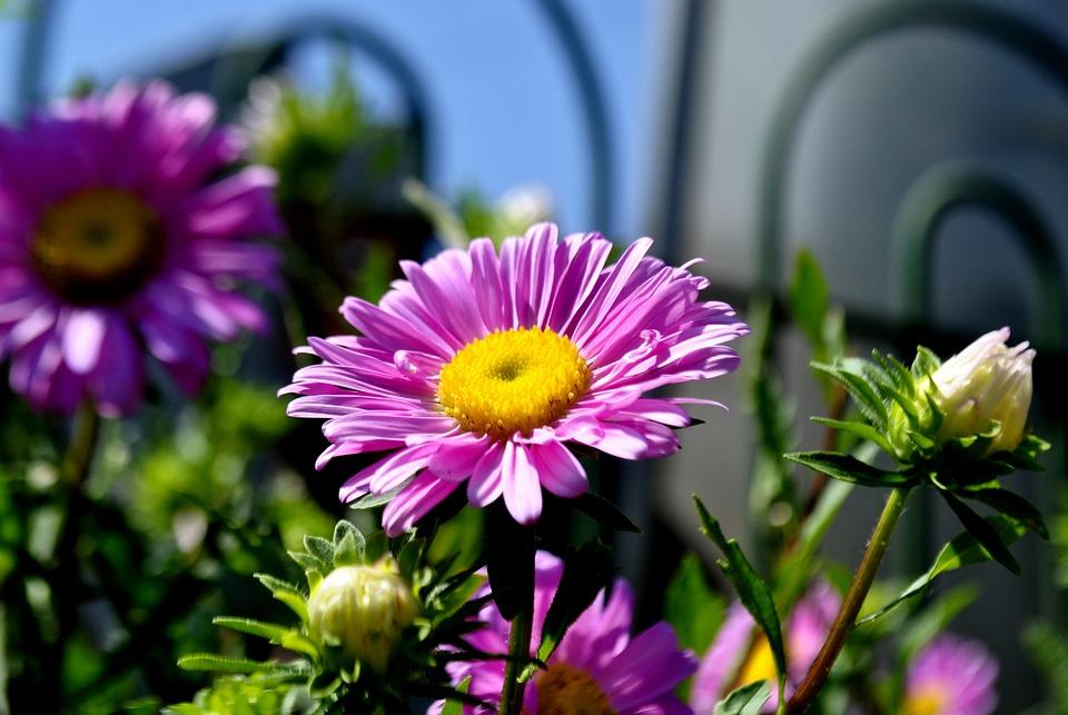 Flower, Pink, Blossom, Garden, Nature, Floral, Beauty