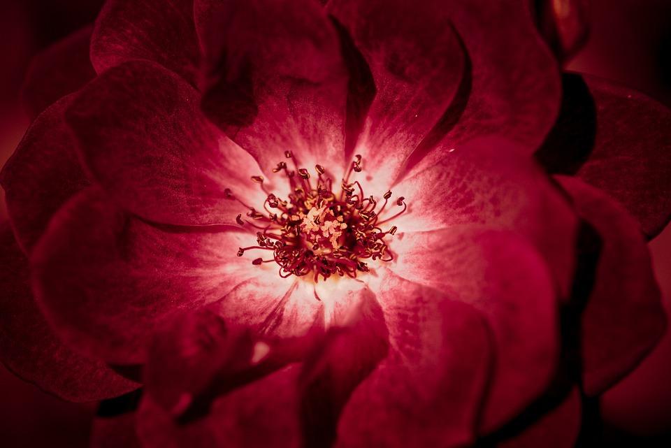 Flower, Beauty, Bloom, Center, Closeup, Color, Delicacy