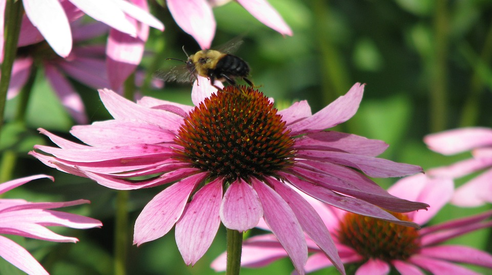 Bee, Flower, Echinacea, Pollination, Beauty, Nature