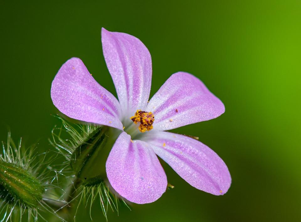 Flower, Pink, Kakost, Flowers, Beauty