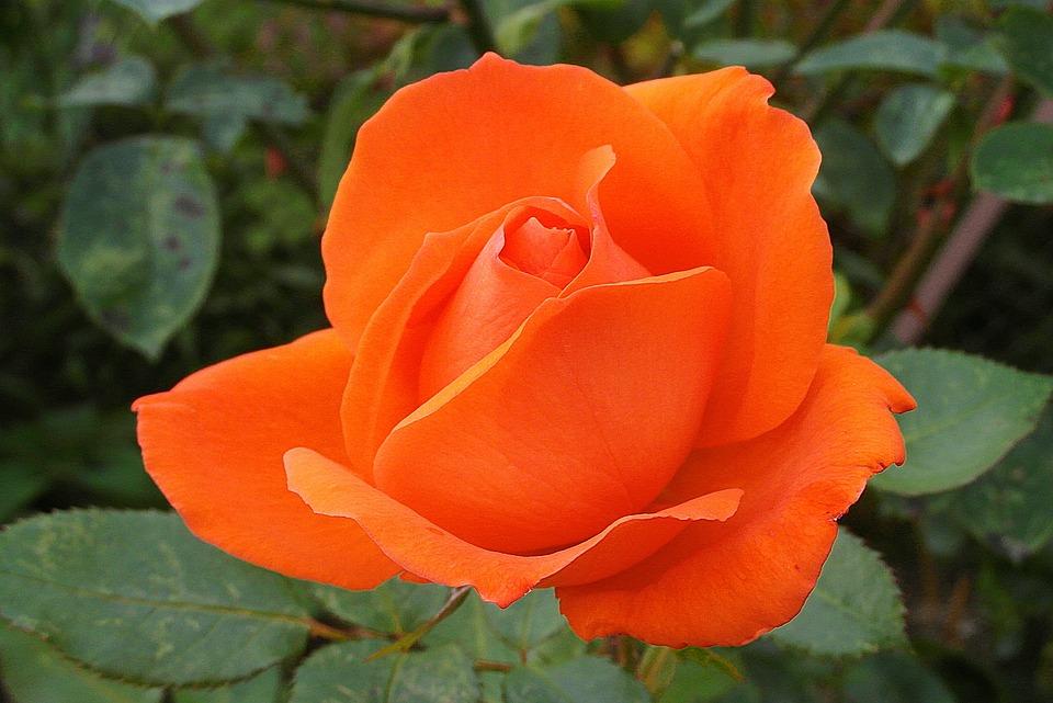 Rose, Flower, Orange, Garden, Noble, Beauty, Love