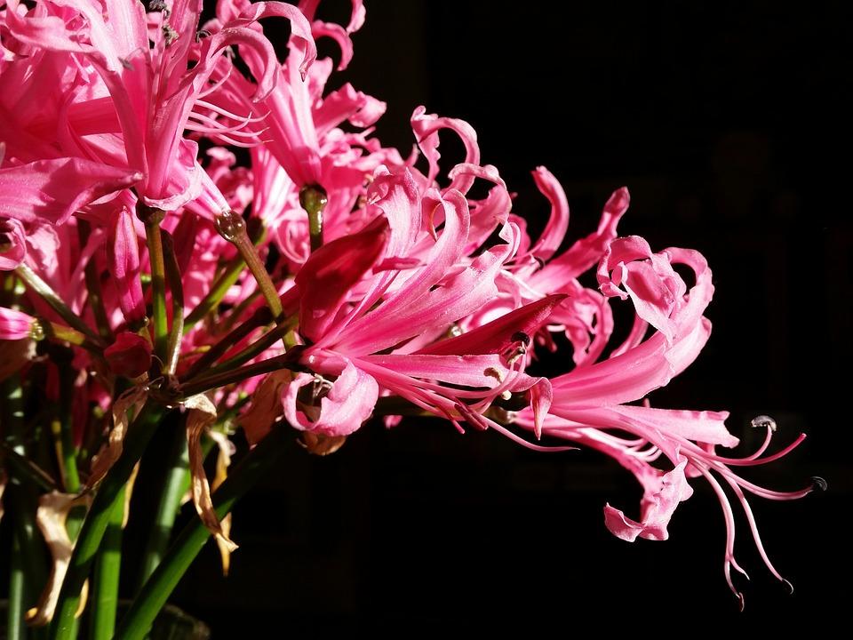 Lillium, Flowers, Beauty, Lily, Plant, Nature, Garden