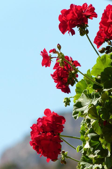 Geraniums, Flowers, Beauty, Red