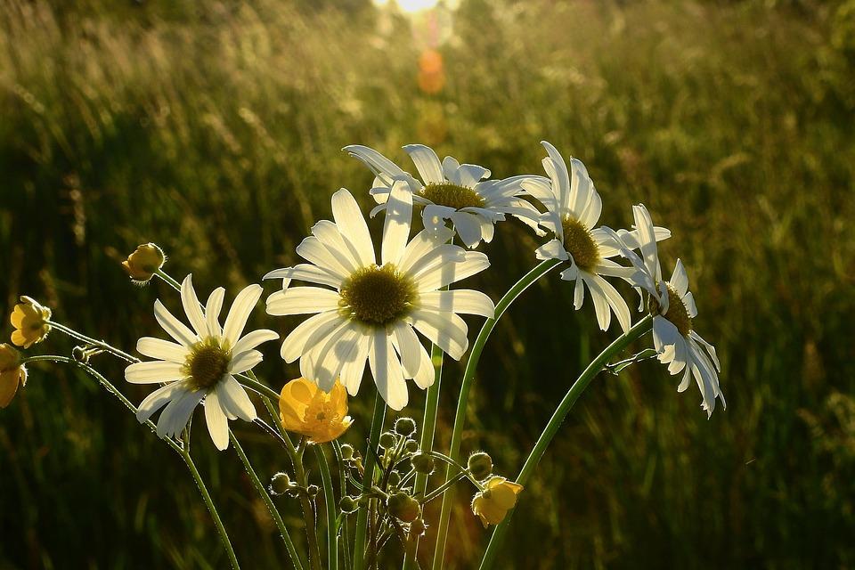 Meadow, Daisies, Flowers, The Sun, Light, Beauty